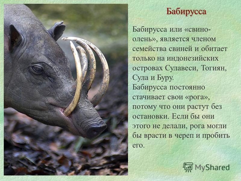 Бабирусса Бабирусса или «свиной- олень», является членом семейства свиней и обитает только на индонезийских островах Сулавеси, Тогиян, Сула и Буру. Бабирусса постоянно стачивает свои «рога», потому что они растут без остановки. Если бы они этого не д