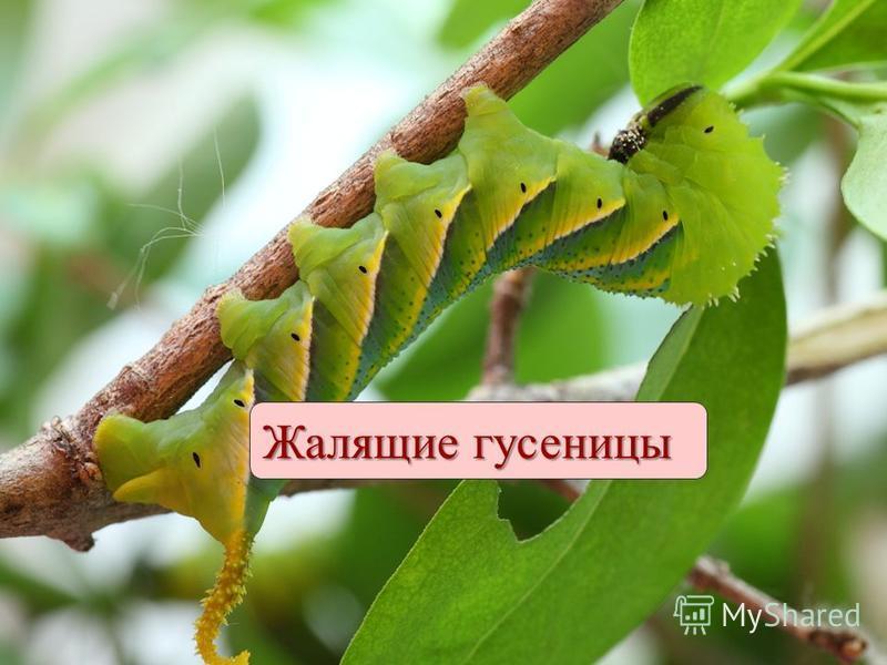 Жалящие гусеницы