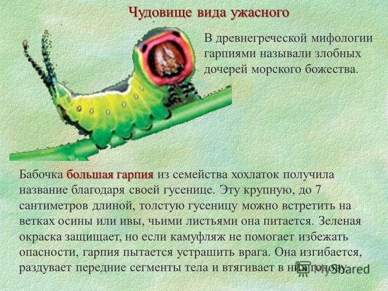 Чудовище вида ужасного В древнегреческой мифологии гарпиями называли злобных дочерей морского божества. большая гарпия Бабочка большая гарпия из семейства хохлаток получила название благодаря своей гусенице. Эту крупную, до 7 сантиметров длиной, толс