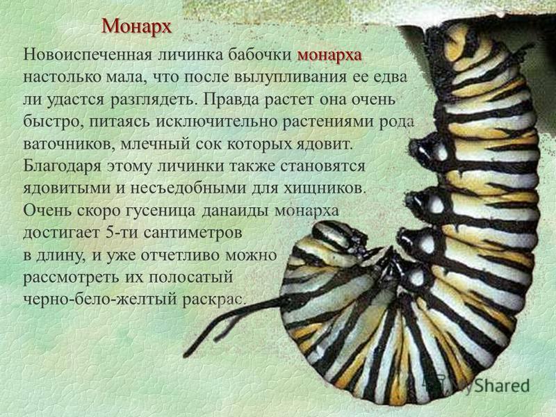 Монарх монарха Новоиспеченная личинка бабочки монарха настолько мала, что после вылупливания ее едва ли удастся разглядеть. Правда растет она очень быстро, питаясь исключительно растениями рода ваточников, млечный сок которых ядовит. Благодаря этому