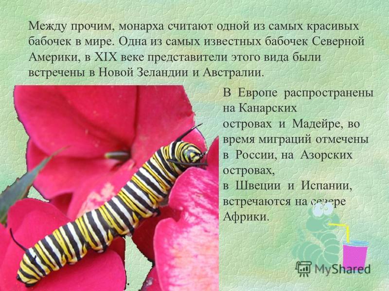 Между прочим, монарха считают одной из самых красивых бабочек в мире. Одна из самых известных бабочек Северной Америки, в XIX веке представители этого вида были встречены в Новой Зеландии и Австралии. В Европе распространены на Канарских островах и М