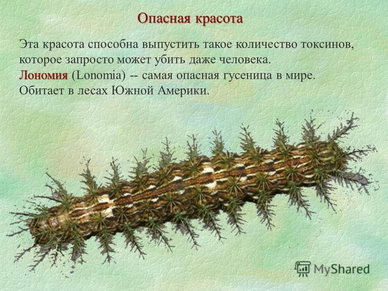 Опасная красота Лономия Эта красота способна выпустить такое количество токсинов, которое запросто может убить даже человека. Лономия (Lonomia) -- самая опасная гусеница в мире. Обитает в лесах Южной Америки.