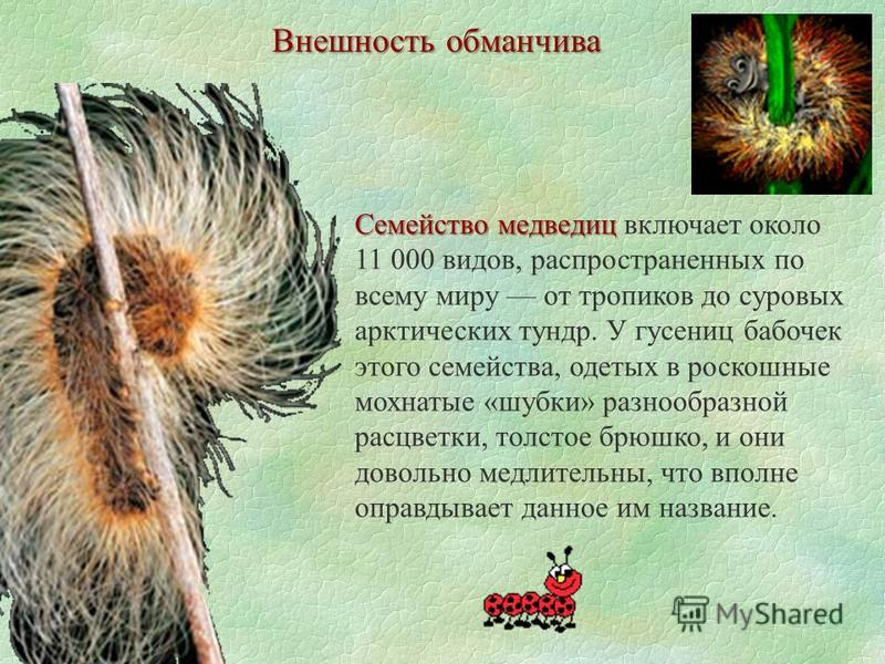 Внешность обманчива Семейство медведиц Семейство медведиц включает около 11 000 видов, распространенных по всему миру от тропиков до суровых арктических тундр. У гусениц бабочек этого семейства, одетых в роскошные мохнатые «шубки» разнообразной расцв
