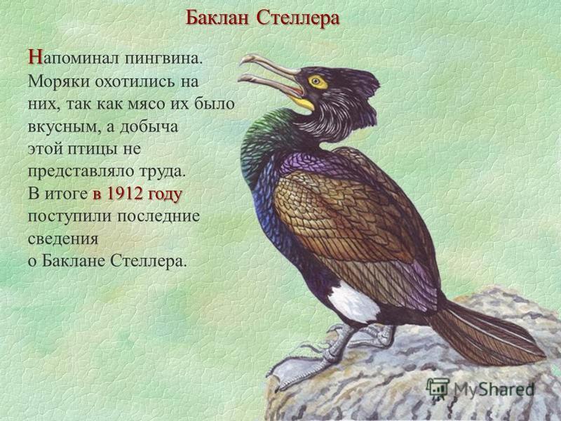 Баклан Стеллера Н Н апоминал пингвина. Моряки охотились на них, так как мясо их было вкусным, а добыча этой птицы не представляло труда. в 1912 году В итоге в 1912 году поступили последние сведения о Баклане Стеллера.