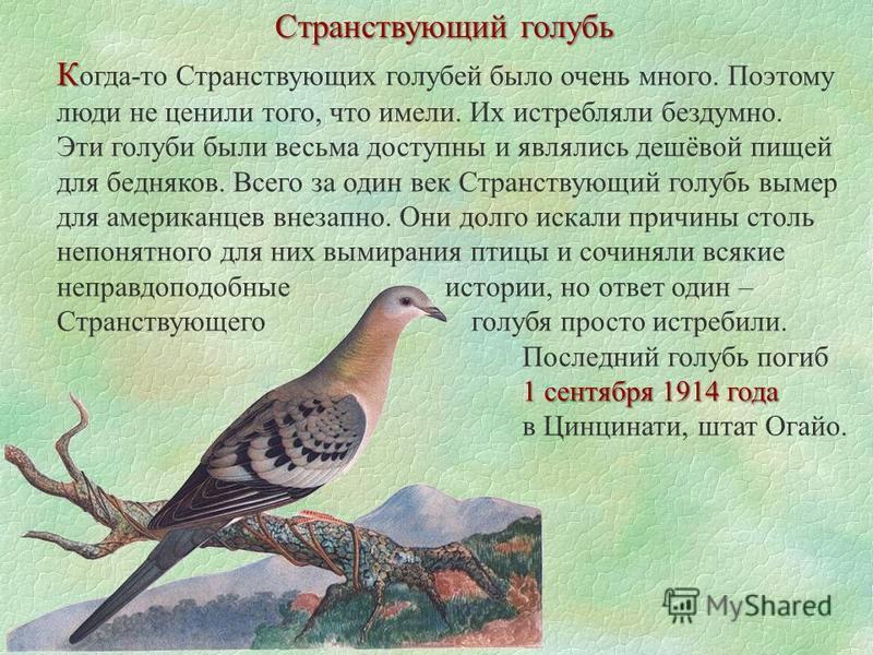 Странствующий голубь К К огда-то Странствующих голубей было очень много. Поэтому люди не ценили того, что имели. Их истребляли бездумно. 1 сентября 1914 года Эти голуби были весьма доступны и являлись дешёвой пищей для бедняков. Всего за один век Стр