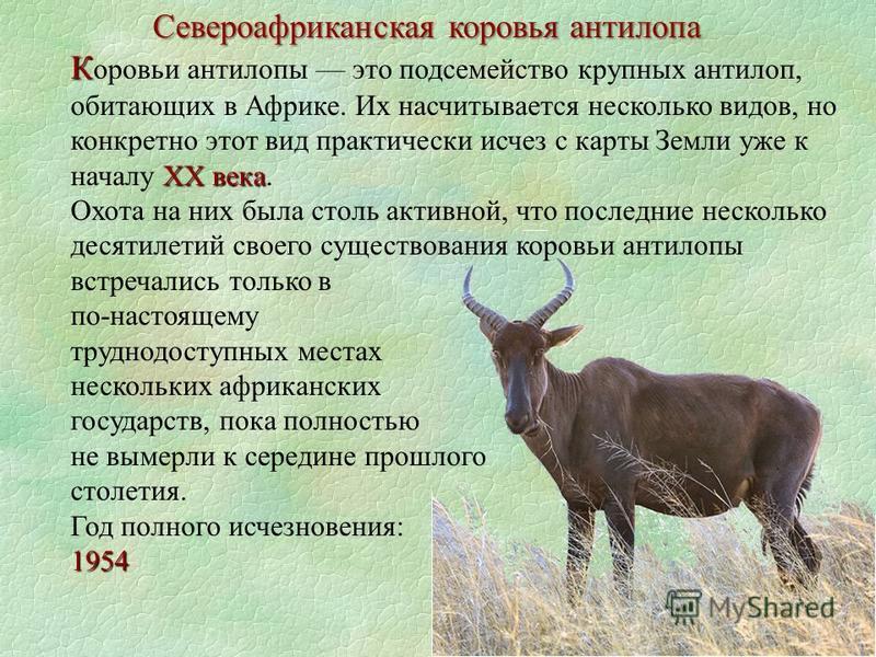Североафриканская коровья антилопа К XX века К оровьи антилопы это подсемейство крупных антилоп, обитающих в Африке. Их насчитывается несколько видов, но конкретно этот вид практически исчез с карты Земли уже к началу XX века. Охота на них была столь