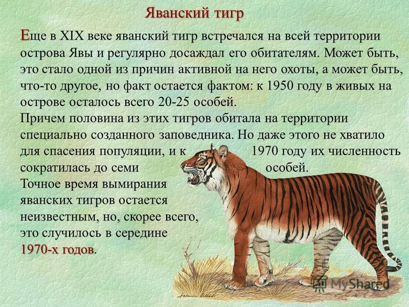 Яванский тигр Е Е ще в XIX веке яванский тигр встречался на всей территории острова Явы и регулярно досаждал его обитателям. Может быть, это стало одной из причин активной на него охоты, а может быть, что-то другое, но факт остается фактом: к 1950 го