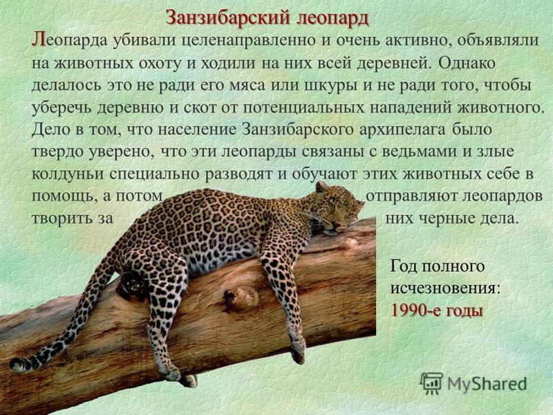 Занзибарский леопард Л Л еопарда убивали целенаправленно и очень активно, объявляли на животных охоту и ходили на них всей деревней. Однако делалось это не ради его мяса или шкуры и не ради того, чтобы уберечь деревню и скот от потенциальных нападени