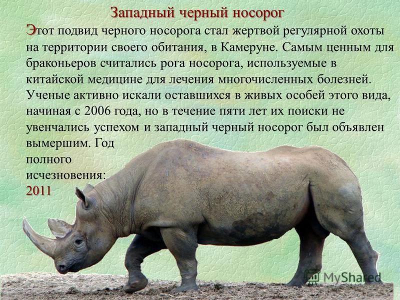 Западный черный носорог Э Э тот подвид черного носорога стал жертвой регулярной охоты на территории своего обитания, в Камеруне. Самым ценным для браконьеров считались рога носорога, используемые в китайской медицине для лечения многочисленных болезн