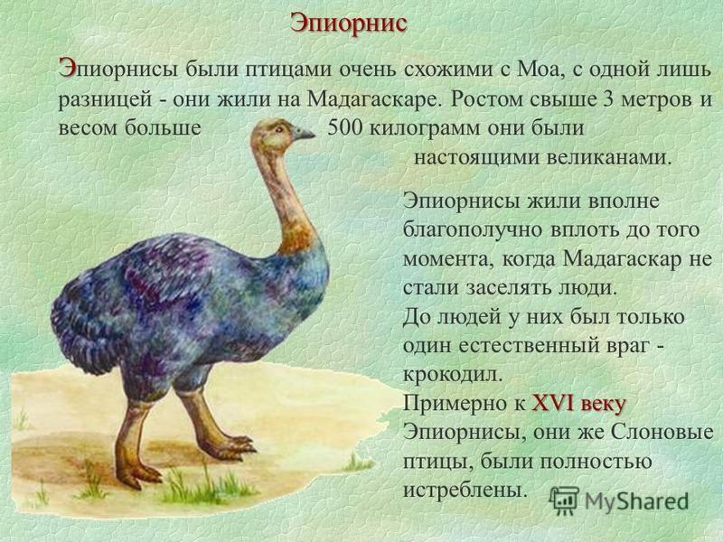 Эпиорнис Э Э эпиорнисы были птицами очень схожими с Моа, с одной лишь разницей - они жили на Мадагаскаре. Ростом свыше 3 метров и весом больше 500 килограмм они были настоящими великанами. Ээпиорнисы жили вполне благополучно вплоть до того момента, к