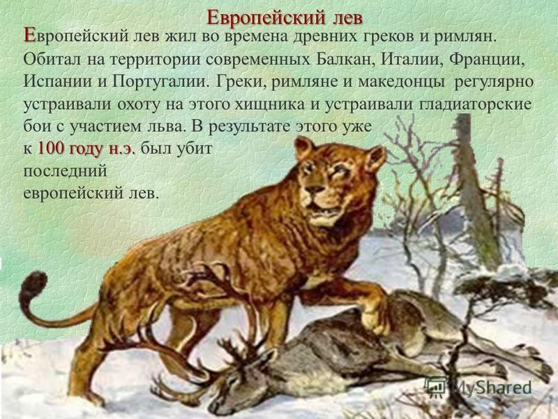 Европейский лев Е Е вропейский лев жил во времена древних греков и римлян. Обитал на территории современных Балкан, Италии, Франции, Испании и Португалии. Греки, римляне и македонцы регулярно устраивали охоту на этого хищника и устраивали гладиаторск