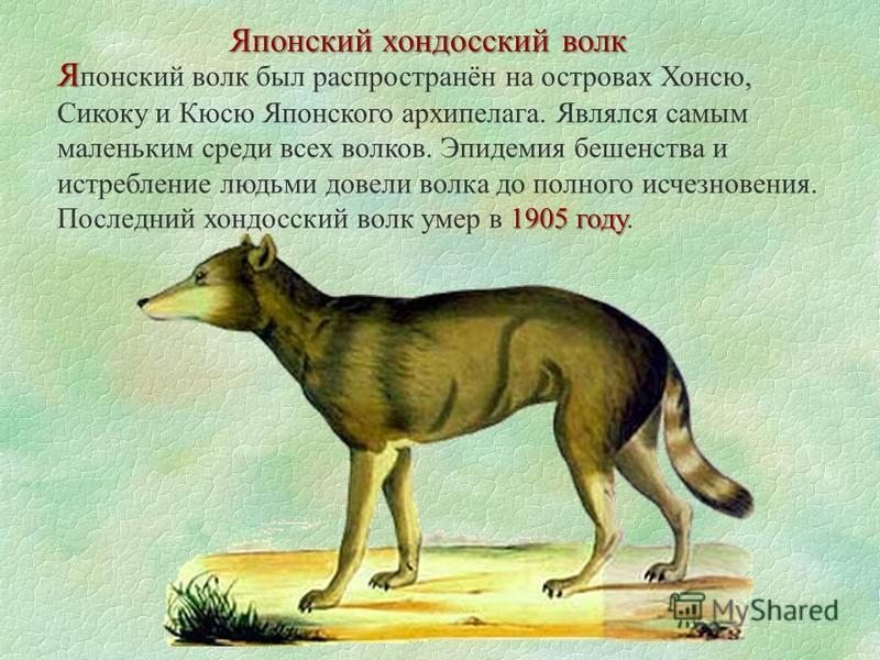Японский хондосский волк Я 1905 году Я понский волк был распространён на островах Хонсю, Сикоку и Кюсю Японского архипелага. Являлся самым маленьким среди всех волков. Эпидемия бешенства и истребление людьми довели волка до полного исчезновения. Посл