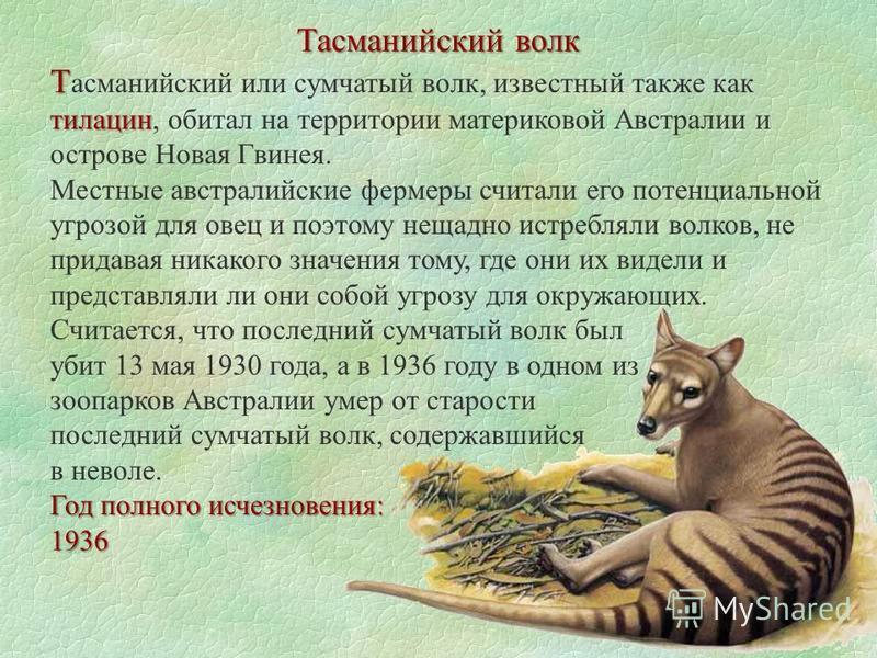 Тасманийский волк Т тилацин Т асманийский или сумчатый волк, известный также как тилацин, обитал на территории материковой Австралии и острове Новая Гвинея. Местные австралийские фермеры считали его потенциальной угрозой для овец и поэтому нещадно ис
