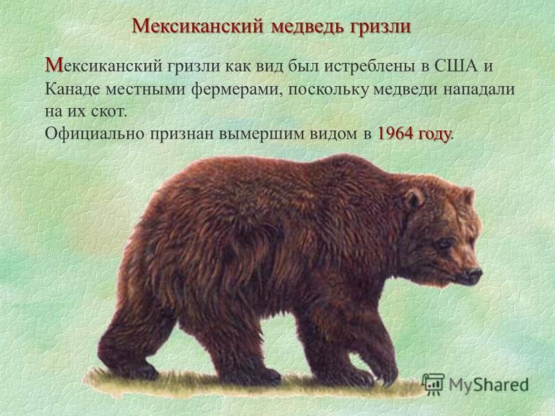 Мексиканский медведь гризли М М ексиканский гризли как вид был истреблены в США и Канаде местными фермерами, поскольку медведи нападали на их скот. 1964 году Официально признан вымершим видом в 1964 году.
