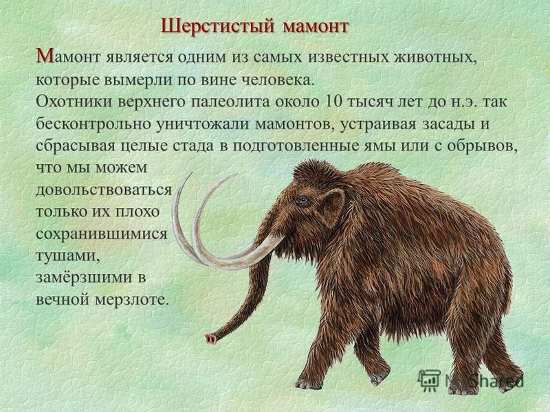 Шерстистый мамонт М М амонт является одним из самых известных животных, которые вымерли по вине человека. Охотники верхнего палеолита около 10 тысяч лет до н.э. так бесконтрольно уничтожали мамонтов, устраивая засады и сбрасывая целые стада в подгото