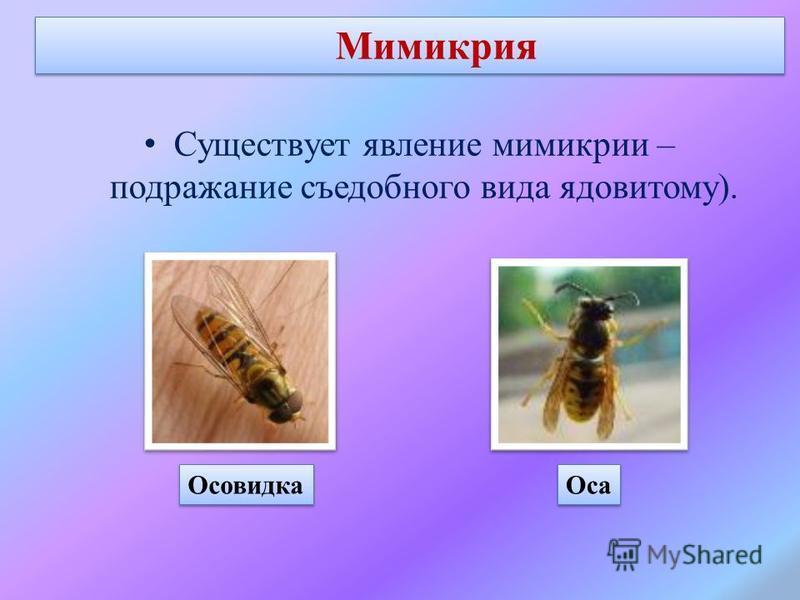 Мимикрия Существует явление мимикрии – подражание съедобного вида ядовитому). Осовидка Оса