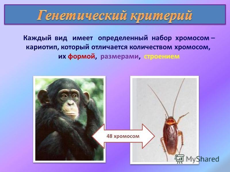 Каждый вид имеет определенный набор хромосом – кариотип, который отличается количеством хромосом, их формой, размерами, строением 48 хромосом