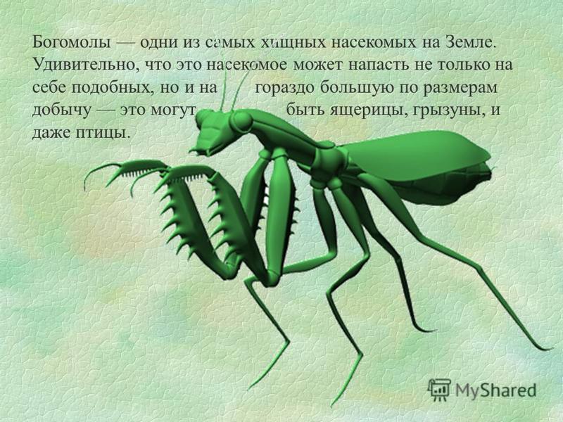 Богомолы одни из самых хищных насекомых на Земле. Удивительно, что это насекомое может напасть не только на себе подобных, но и на гораздо большую по размерам добычу это могут быть ящерицы, грызуны, и даже птицы.