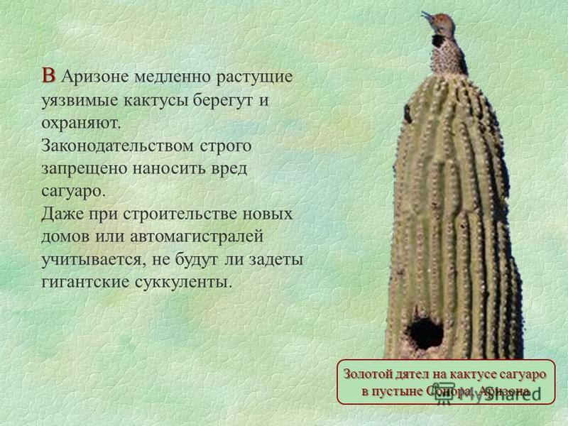 Золотой дятел на кактусе сагуаро в пустыне Сонора, Аризона В В Аризоне медленно растущие уязвимые кактусы берегут и охраняют. Законодательством строго запрещено наносить вред сагуаро. Даже при строительстве новых домов или автомагистралей учитывается