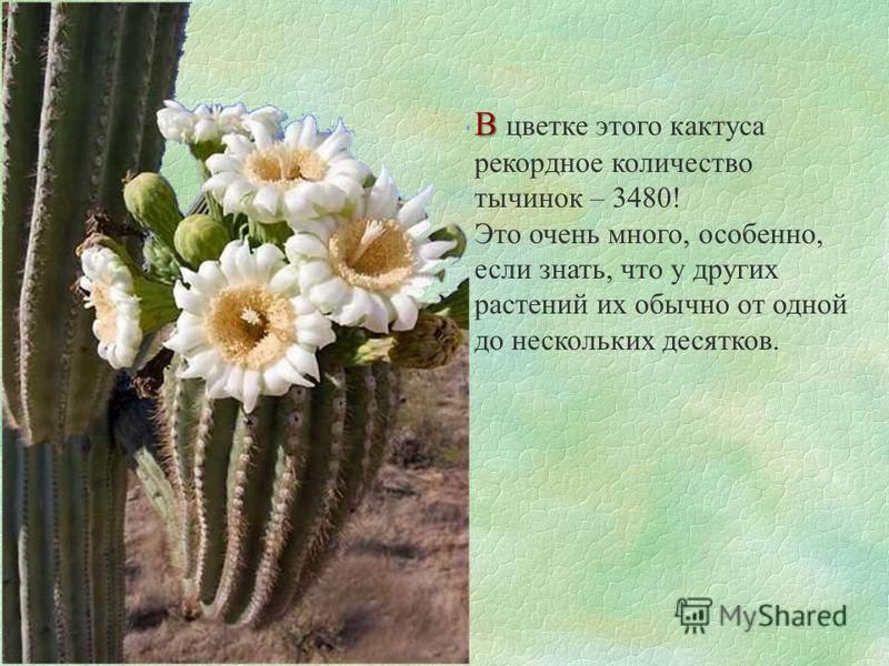 В В цветке этого кактуса рекордное количество тычинок – 3480! Это очень много, особенно, если знать, что у других растений их обычно от одной до нескольких десятков.