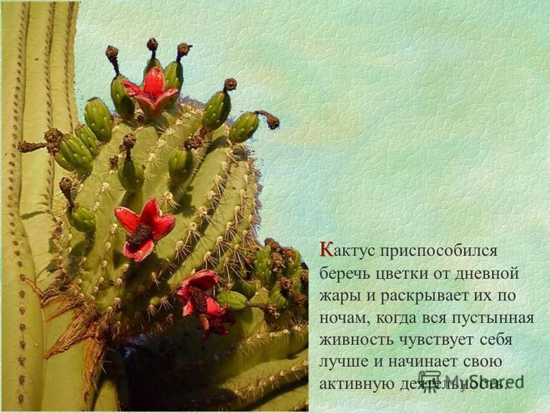 К К актус приспособился беречь цветки от дневной жары и раскрывает их по ночам, когда вся пустынная живность чувствует себя лучше и начинает свою активную деятельность.