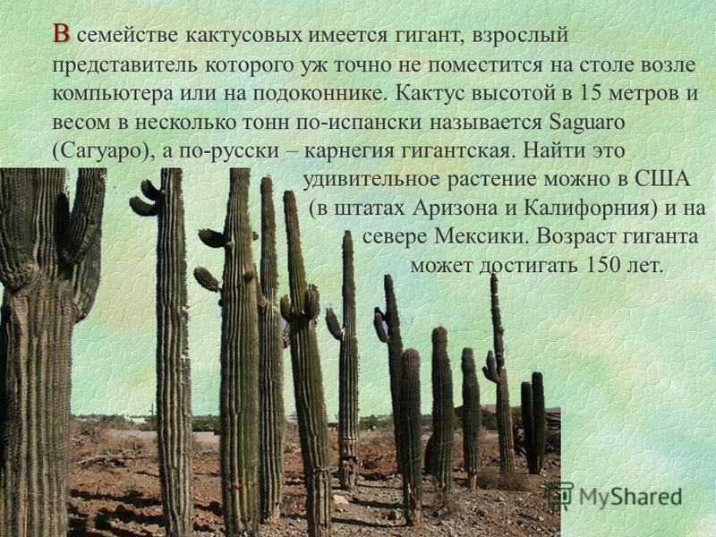 В В семействе кактусовых имеется гигант, взрослый представитель которого уж точно не поместится на столе возле компьютера или на подоконнике. Кактус высотой в 15 метров и весом в несколько тонн по-испански называется Saguaro (Сагуаро), а по-русски –