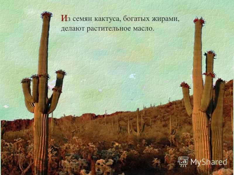 И И з семян кактуса, богатых жирами, делают растительное масло.