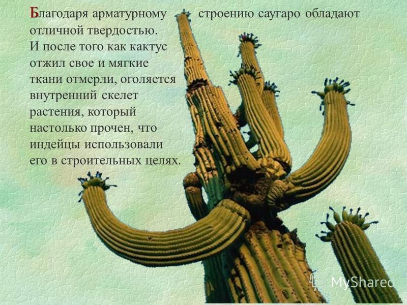 Б Б лагодаря арматурному строению саугаро обладают отличной твердостью. И после того как кактус отжил свое и мягкие ткани отмерли, оголяется внутренний скелет растения, который настолько прочен, что индейцы использовали его в строительных целях.