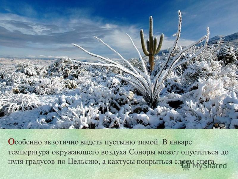 О О собенно экзотично видеть пустыню зимой. В январе температура окружающего воздуха Соноры может опуститься до нуля градусов по Цельсию, а кактусы покрыться слоем снега.
