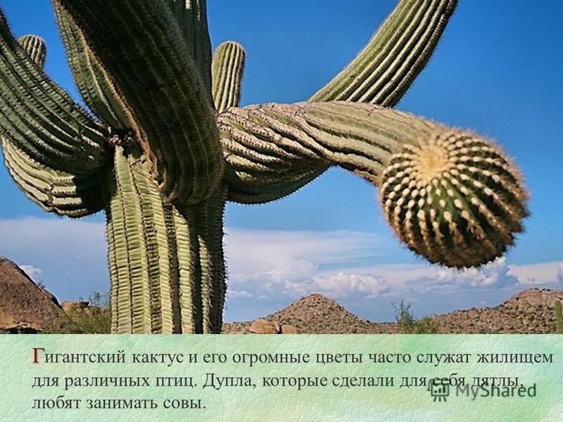 Г Г игантский кактус и его огромные цветы часто служат жилищем для различных птиц. Дупла, которые сделали для себя дятлы, любят занимать совы.