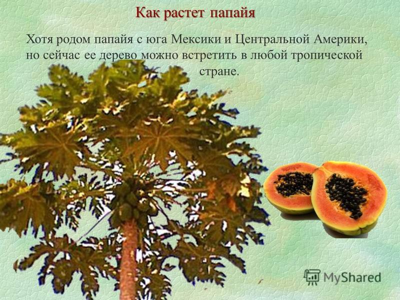 Как растет папайя Хотя родом папайя с юга Мексики и Центральной Америки, но сейчас ее дерево можно встретить в любой тропической стране.