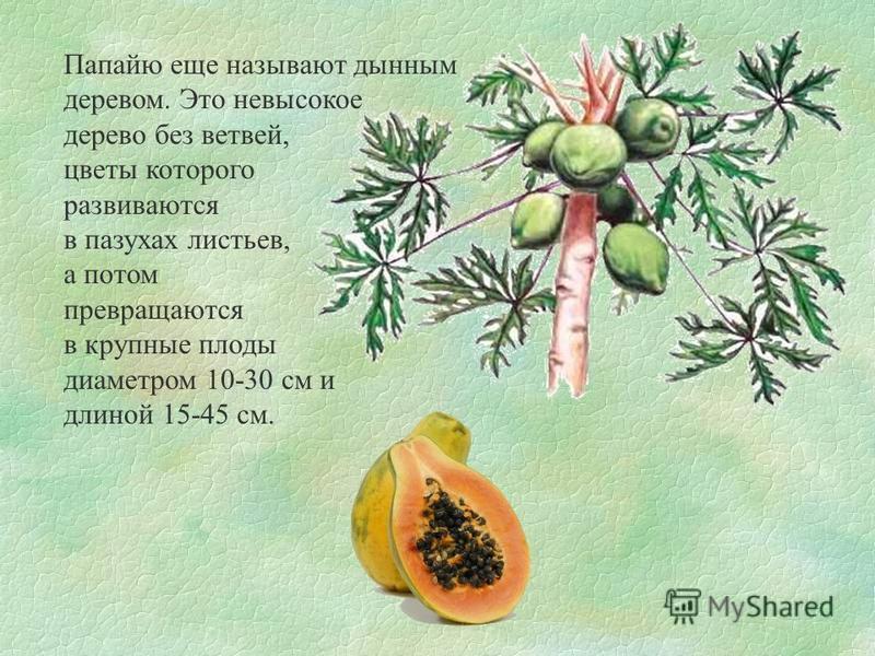 Папайю еще называют дынным деревом. Это невысокое дерево без ветвей, цветы которого развиваются в пазухах листьев, а потом превращаются в крупные плоды диаметром 10-30 см и длиной 15-45 см.