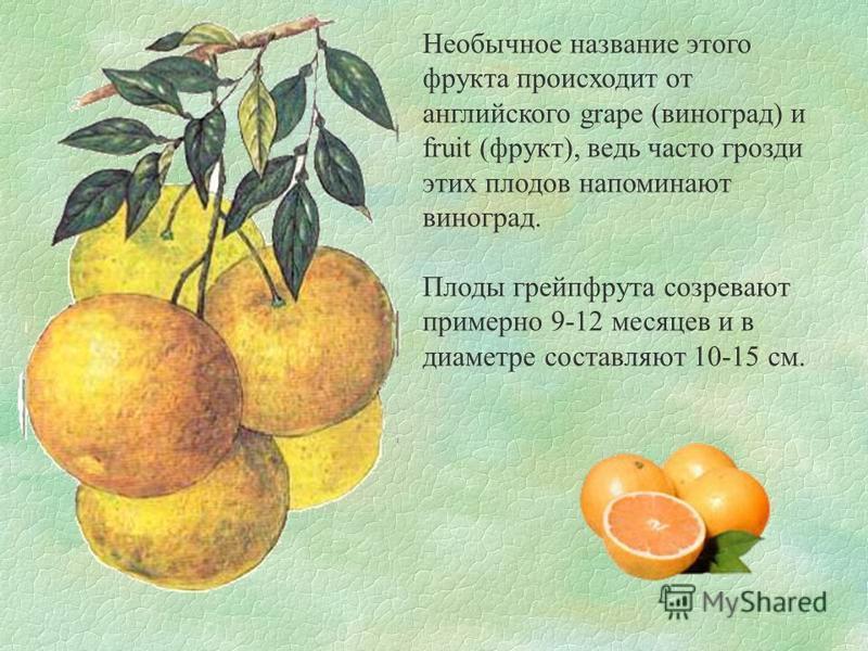 Необычное название этого фрукта происходит от английского grape (виноград) и fruit (фрукт), ведь часто грозди этих плодов напоминают виноград. Плоды грейпфрута созревают примерно 9-12 месяцев и в диаметре составляют 10-15 см.