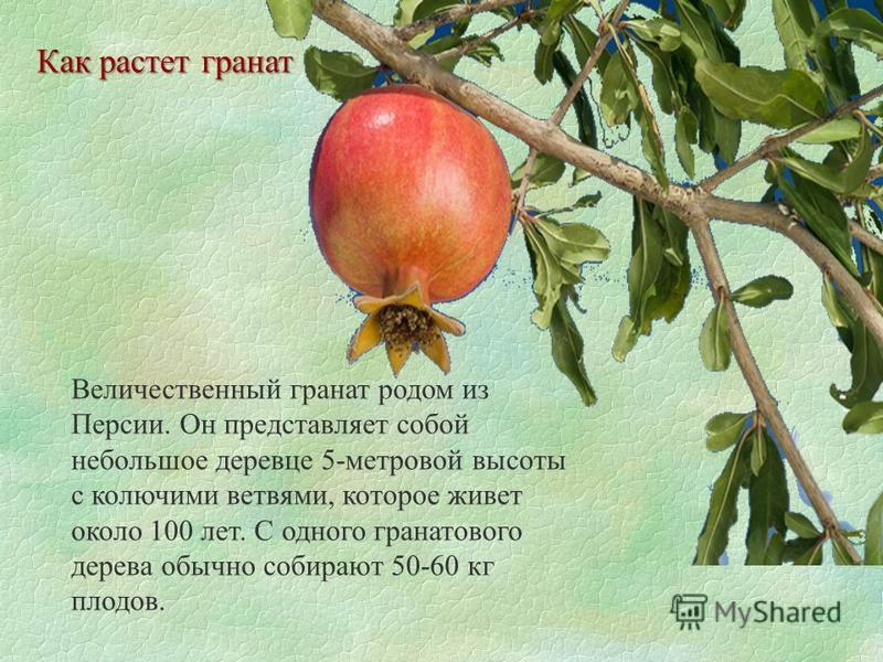Как растет гранат Величественный гранат родом из Персии. Он представляет собой небольшое деревце 5-метровой высоты с колючими ветвями, которое живет около 100 лет. С одного гранатового дерева обычно собирают 50-60 кг плодов.