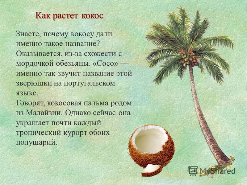 Как растет кокос Знаете, почему кокосу дали именно такое название? Оказывается, из-за схожести с мордочкой обезьяны. «Сoco» именно так звучит название этой зверюшки на португальском языке. Говорят, кокосовая пальма родом из Малайзии. Однако сейчас он