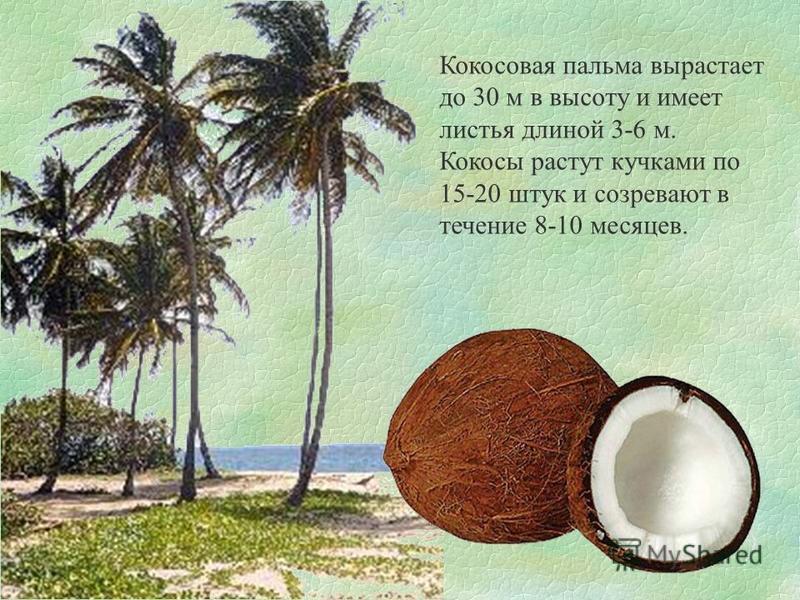 Кокосовая пальма вырастает до 30 м в высоту и имеет листья длиной 3-6 м. Кокосы растут кучками по 15-20 штук и созревают в течение 8-10 месяцев.