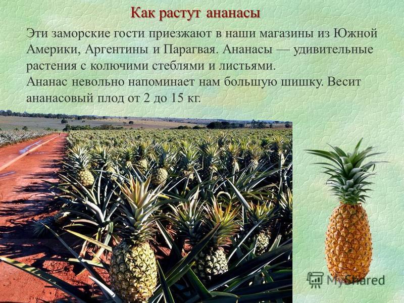 Как растут ананасы Эти заморские гости приезжают в наши магазины из Южной Америки, Аргентины и Парагвая. Ананасы удивительные растения с колючими стеблями и листьями. Ананас невольно напоминает нам большую шишку. Весит ананасовый плод от 2 до 15 кг.