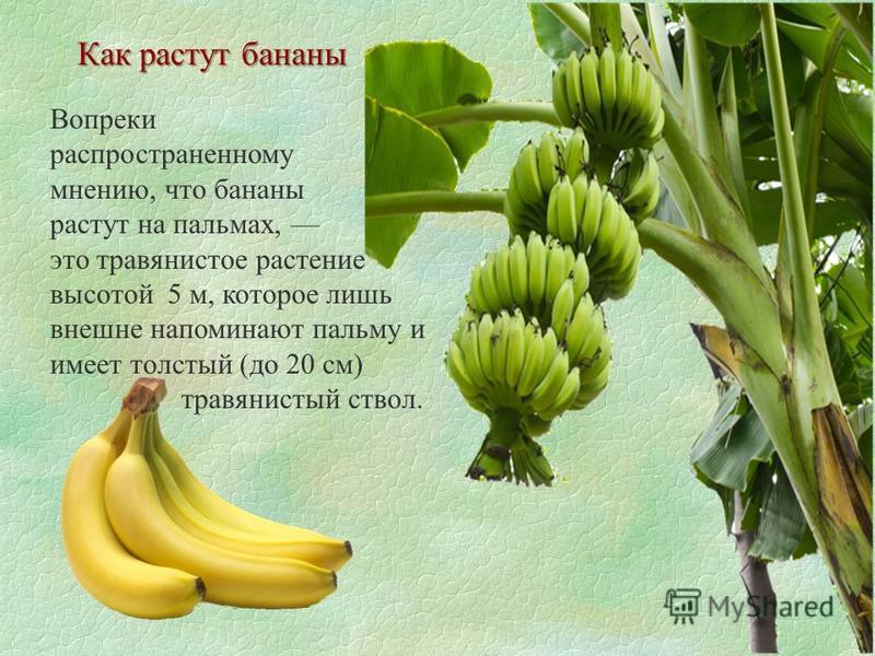 Как растут бананы Вопреки распространенному мнению, что бананы растут на пальмах, это травянистое растение высотой 5 м, которое лишь внешне напоминают пальму и имеет толстый (до 20 см) травянистый ствол.