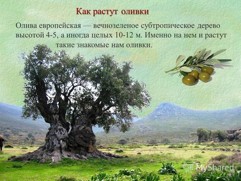 Как растут оливки Олива европейская вечнозеленое субтропическое дерево высотой 4-5, а иногда целых 10-12 м. Именно на нем и растут такие знакомые нам оливки.