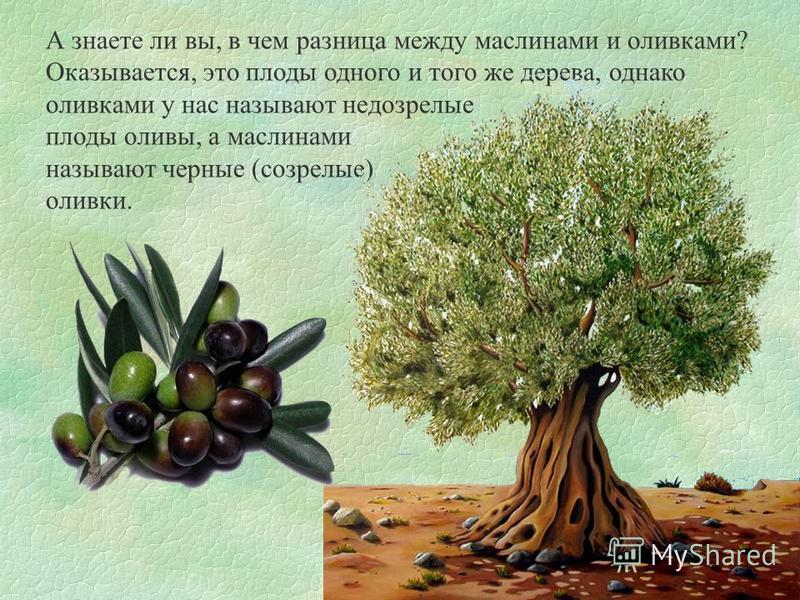 А знаете ли вы, в чем разница между маслинами и оливками? Оказывается, это плоды одного и того же дерева, однако оливками у нас называют недозрелые плоды оливы, а маслинами называют черные (созрелые) оливки.