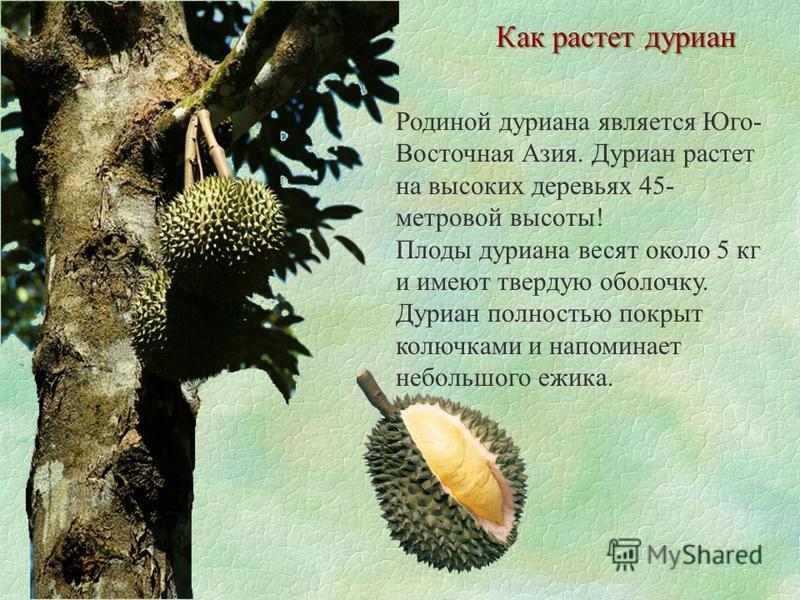 Как растет дуриан Родиной дуриана является Юго- Восточная Азия. Дуриан растет на высоких деревьях 45- метровой высоты! Плоды дуриана весят около 5 кг и имеют твердую оболочку. Дуриан полностью покрыт колючками и напоминает небольшого ежика.