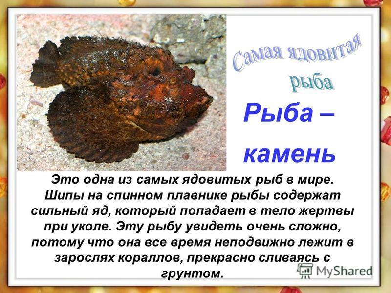 Это одна из самых ядовитых рыб в мире. Шипы на спинном плавнике рыбы содержат сильный яд, который попадает в тело жертвы при уколе. Эту рыбу увидеть очень сложно, потому что она все время неподвижно лежит в зарослях кораллов, прекрасно сливаясь с гру