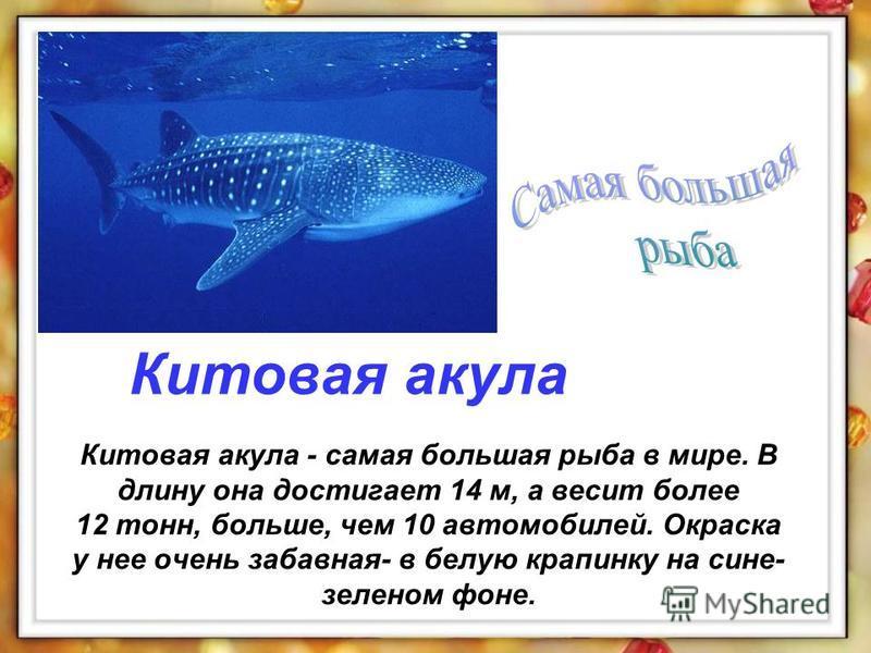 Китовая акула - самая большая рыба в мире. В длину она достигает 14 м, а весит более 12 тонн, больше, чем 10 автомобилей. Окраска у нее очень забавная- в белую крапинку на сине- зеленом фоне. Китовая акула