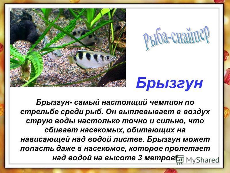 Брызгун- самый настоящий чемпион по стрельбе среди рыб. Он выплевывает в воздух струю воды настолько точно и сильно, что сбивает насекомых, обитающих на нависающей над водой листве. Брызгун может попасть даже в насекомое, которое пролетает над водой