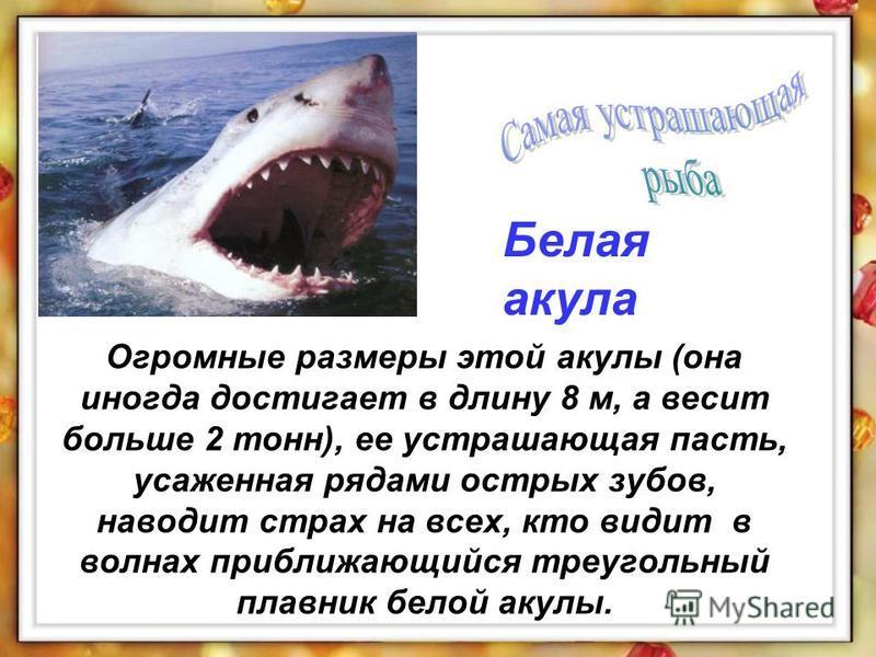Огромные размеры этой акулы (она иногда достигает в длину 8 м, а весит больше 2 тонн), ее устрашающая пасть, усаженная рядами острых зубов, наводит страх на всех, кто видит в волнах приближающийся треугольный плавник белой акулы. Белая акула