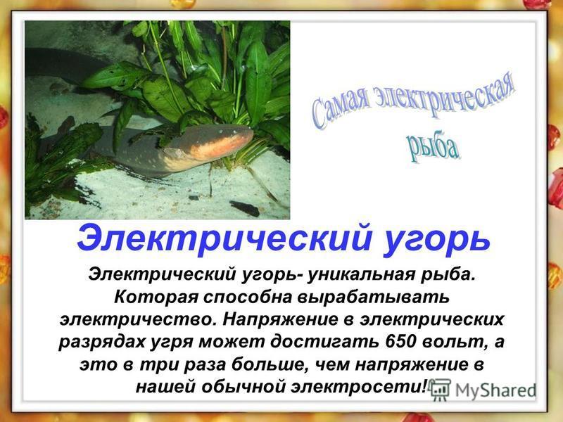Электрический угорь- уникальная рыба. Которая способна вырабатывать электричество. Напряжение в электрических разрядах угря может достигать 650 вольт, а это в три раза больше, чем напряжение в нашей обычной электросети! Электрический угорь