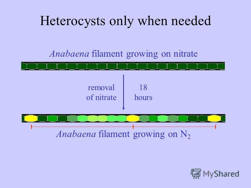 Anabaena filament growing on nitrate Anabaena filament growing on N 2 removal of nitrate 18 hours Heterocysts only when needed