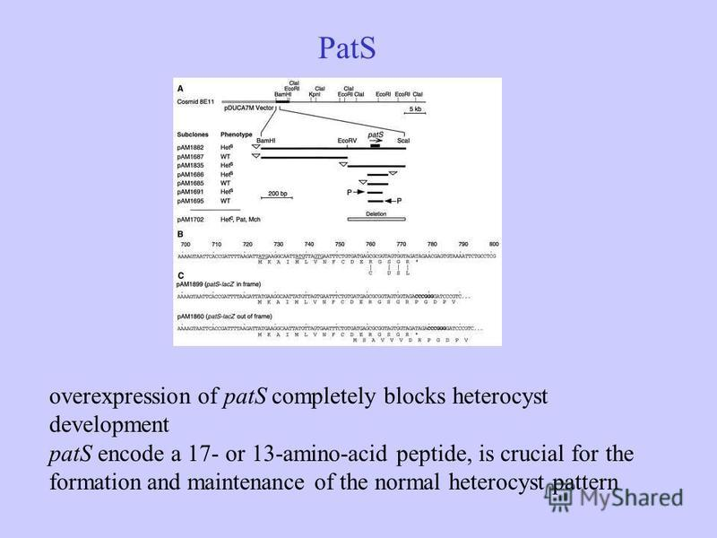 PatS overexpression of patS completely blocks heterocyst development patS encode a 17- or 13-amino-acid peptide, is crucial for the formation and maintenance of the normal heterocyst pattern
