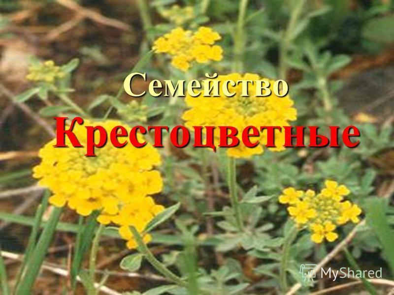 31.08.2015 Мерзликина Галина Валерьевна Семейство Крестоцветные