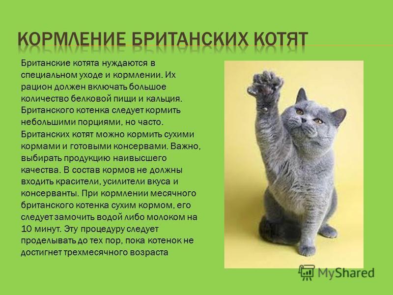 Британские котята нуждаются в специальном уходе и кормлении. Их рацион должен включать большое количество белковой пищи и кальция. Британского котенка следует кормить небольшими порциями, но часто. Британских котят можно кормить сухими кормами и гото